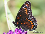 RUBIDUS  Strecker (Hybrid) --Red-Spotted Purple (L. a. astyanax)  X  Viceroy (L. archippus)-VENTRAL