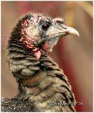 Wild Turkey-Female