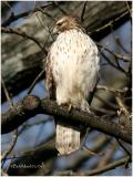 Red Shouldered Hawk-1st year
