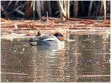 Green-Winged Teal - Eurasian Race