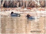 Green-Winged Teal - Eurasian Race-COMPARISON