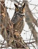 Great Horned Owl-Male