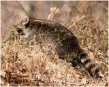 Common Racoon