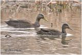 American Black Duck-Pair