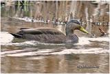 American Black Duck-Male