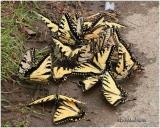 Eastern Tiger Swallowtails-PuddlingPapilio glaucus
