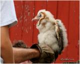 BANDING BARN OWLS