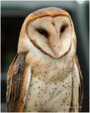 BARN OWLS-TYTONIDAE FAMILY