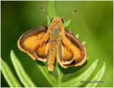 Whirlabout Skipper-Male