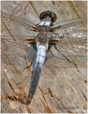 Chalk-Fronted Corporal-Male