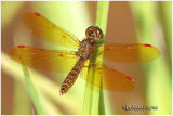 GENUS PERITHEMIS (Amberwings)