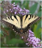 Eastern Tiger Swallowtail-Male
