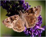 Horace's Duskywing-Female