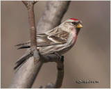 Common Redpoll-Male