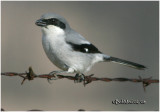 Loggerhead Shrike-Feb 2008