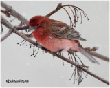 House Finch-Male Aberrant