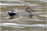 Gadwall-Male Breeding