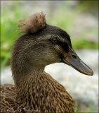 Punk Duck ...