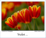 Triolet (May 2008) ...
