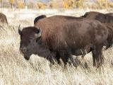 'Ole Buff, Antelope Flats