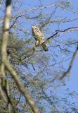 Gray Hawk (imm), Bentsen SP