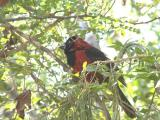 Crimson-collared Grosbeak, Frontera-Audubon, Weslaco