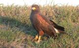 Harris's Hawk, Harlingen