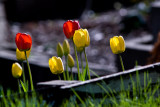 Red and Yellow Tulips  ~  May 11
