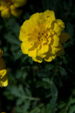 Golden Marigold  ~  July 9
