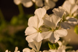 White Geranium  ~  July 21