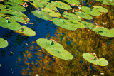 Lily Pad Autumn  ~  October 1