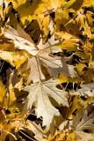 Greg's Autumn Leaf Collection, Redux  ~  October 28