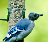 Blue Jay with extreme head molt - August 2009 - Hollis NH