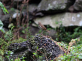 Eremitskogstrast - Hermit Thrush (Catharus guttatus)