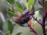 Kungsfågel -Goldcrest (Regulus regulus inermis)