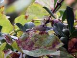 Kungsfågel - Goldcrest (Regulus regulus inermis)