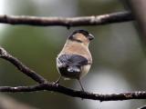 Azordomherre - Azores Bullfinch (Pyrrhula pyrrhula murina)
