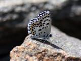 Lycaenidae ( Juvelvingar )