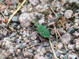 Grön Sandjägare - Green tiger beetle (Cicindela campestris)