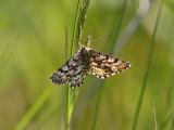 Allmän ängsmätare - Common Heath (Ematurga atomaria)
