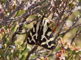 Mindre igelkottspinnare - Wood Tiger (Parasemia plantaginis)