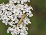 Ockragul lavspinnare - Eilema lutarellum (Eilema lutarellum)