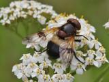 Fönsterblomfluga - Pellucid Hoverfly (Volucella pellucens)
