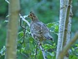 Hönsfåglar / Grouses