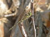 Kungstrollslända - Golden-ringed dragonfly (Cordulegaster boltonii)