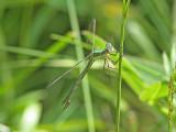 Allmän smaragdflikslända - Emerald Damselfly (Lestes sponsa)