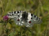 Papilionidae ( Riddarfjärilar )