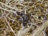 Vitfläckig svävfluga - Mottled bee-fly (Thyridanthrax fenestratus)