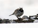 Lärkor & svalor / Larks & Swallows