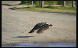 Pacific Gull - Taking Off